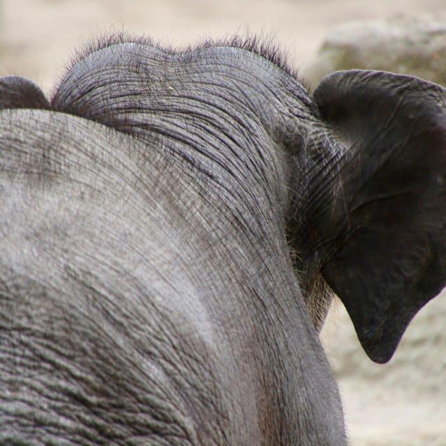 Babyelefant von hinten